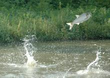 Asian carp compete with native fish for food and overtake an already occupied niche. They also could consume threatened or endangered native species. (Submitted photo)