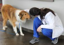 Dr. Dena Lodato, a board-certified veterinary surgeon with the Mississippi State University College of Veterinary Medicine Animal Emergency and Referral Clinic in Flowood, greets Lad, a local patient that recovered from serious injuries he suffered when a train hit him. (Submitted photo)