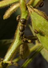Producers rely on Mississippi State University recommendations to make management decisions related to kudzu bugs, such as these pictured, and other insect pests. (Photo by MSU Extension/Kevin Hudson)