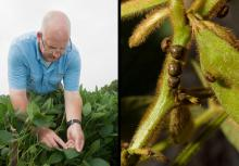 Mississippi State University plant pathologist Tom Allen (left) said fungicide-resistant frogeye leaf spot in soybeans has recently become a major problem. (Photo by MSU Extension/Kat Lawrence)  Producers rely on Mississippi State University recommendations to make management decisions related to kudzu bugs, such as these pictured (right), and other insect pests. (Photo by MSU Extension/Kevin Hudson)
