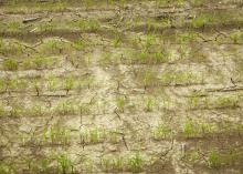 Rice that has emerged looks very good, but it needs sunshine and warm weather to begin growing vigorously. This rice was photographed April 28, 2015, in Washington County, Mississippi. (Photo by Mississippi Agricultural and Forestry Experiment Station/Richard Turner)