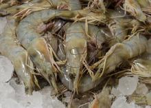 The majority of shrimp being landed in Biloxi this year are the smaller 41/50 size, which means it takes 41 to 50 shrimp to make a pound. (Photo by MSU Ag Communications/Kevin Hudson)