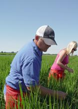 Paxton Fitts, left, and Whitney Smith take tissue samples of rice leaves on Aug. 26, 2015, in a field at the Mississippi State University Delta Research and Extension Center in Stoneville, Mississippi. (Photo by MSU Delta Research and Extension Center/Kenner Patton)
