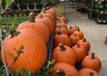 Large pumpkins just right for jack-o-lanterns await selection at a store in Starkville, Mississippi, on Oct. 23, 2015. (Photo by MSU Extension Service/Linda Breazeale)