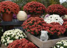White pumpkins offer different opportunities for special themes in fall displays. Here is a Starkville, Mississippi, display with one nestled in the middle of maroon and white flowers on Oct. 23, 2015. (Photo by MSU Extension Service/Linda Breazeale)
