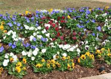 A fresh layer of mulch in the fall can help beds stay weed-free when preparing to plant fall seasonal color. (Photo by MSU Ag Communications/Kat Lawrence)