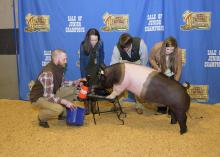 Alex Deason, 4-H agent with the Mississippi State University Extension Service in Sunflower County, left, helps his 4-H members with one of the four hogs they had in the Dixie National Sale of Junior Champions on Feb. 11, 2016, in Jackson, Mississippi. Anna Grace Rowland, second from left, Sherman Timbs and Sarah Thomas Smith shaved Deason's head after they won a friendly bet with him by getting four pigs in the sale. (Photo by MSU Extension/Kevin Hudson)