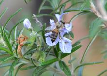 A honeybee gathers pollen from a rosemary bush at the Mississippi Agriculture and Forestry Museum in Jackson, Mississippi, on March 17, 2016. Homeowners can help support Mississippi's honeybee population by responsibly applying garden chemicals. (Photo by MSU Extension Service/Susan Collins-Smith)