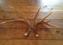 Antlers form unevenly when a deer has been injured. Here, the jagged abscission surface on the left antler and uneven number of points compared to the right antler indicate a brain abscess. (Submitted photo by Josh Payne)
