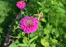 Zinnias provide a good source of energy for adult monarch butterflies and other pollinators, such as native bees and other butterfly species. (Photo by MSU Extension Service/Susan Collins-Smith)