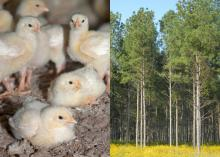Chicks and Forest