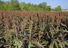 grain sorghum field