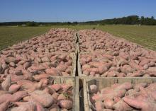 crates of sweet potatoes