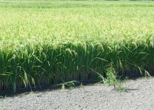 Whether grown under a conventional system or the newer alternating wet and dry method, weeds are controlled in rice during the initial 21-day continuous flood the crop needs to get established. (Photo by MSU Extension Service/Lee Atwill)