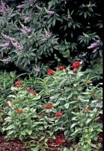 This combination planting looks somewhat tropical and a little patriotic with the red pentas and the taller vitex sporting blue and white. The white appearance on the vitex comes from the unopened flower buds. This idyllic partnership is not only an incredible sight from the standpoint of aesthetics, but it also features plants known to be major food sources for butterflies and hummingbirds.