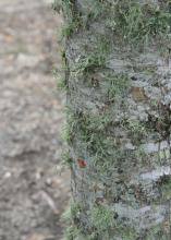 Lichens are harmless, opportunistic organisms that grow on hard outdoor surfaces, such as wooden fences, rocks and tree bark. A healthy plant has a canopy that discourages lichen growth. (Photo by MSU Extension Service/Gary Bachman)