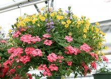 Potting mixes for containers, such as this hanging basket, need to drain well and be light and airy. (Photo by MSU Extension Service/Gary Bachman)