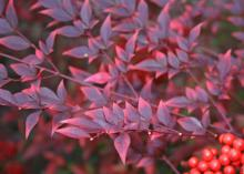 Nandinas are good-looking, hardy bushes with glossy, green leaves that shine in the winter with a fiery array of reds and burgundies. (Photo by MSU Extension Service/Gary Bachman)