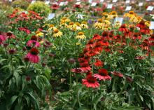 Cheyenne Spirit is an outstanding coneflower that produces a delightful mix of flower colors ranging from rich purple, pink, red and orange to yellows, creams and white. (Photo by MSU Extension Service/Gary Bachman)