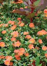 It takes special plants to find gardening success in the hard-to-handle strip of land between pavement and sidewalk. This Pizzazz tangerine purslane combines well with New Look celosia. (Photo by MSU Extension Service/Gary Bachman)