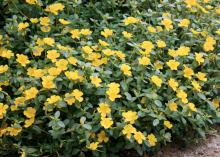 Purslane, such as this Pizzazz yellow, is a succulent that thrives in high summer temperatures. (Photo by MSU Extension Service/Gary Bachman)
