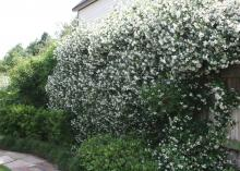 Confederate jasmine is neither a Southern native nor a true jasmine. It performs well in Mississippi landscapes, producing large numbers of small white flowers from midspring through early summer. (Photo by MSU Extension Service/Gary Bachman)