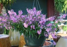 The Angel Mist variety of Angelonia, such as this Blush selection, is free-flowering, making it an exceptional choice for containers or hanging baskets. (Photo by MSU Extension Service/Gary Bachman)
