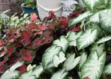 Caladiums are versatile plants that can be grown in full sun, shade or part sun. (Photo by MSU Extension Service/Gary Bachman)