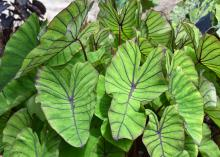 Colocasia Blue Hawaii is an elephant ear variety with large green leaves featuring prominent bluish-purple veins and wavy edges. (Photo by MSU Extension Service/Gary Bachman)