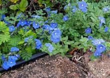 Blue Daze evolvulus is an easy-to-care-for plant that spreads quickly. The foliage has a downy appearance, and the sky-blue flowers are open for only one day. (Photo by MSU Extension Service/Gary Bachman)