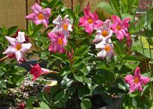 Those who like Mandevilla but not its need for a structure may enjoy Dipladenia. Its bushy growth makes it perfect for growing in a full-sun container without additional support. (Photo by MSU Extension Service/Gary Bachman)