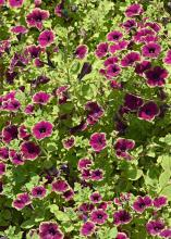 Picasso in Burgundy is a bicolor Supertunia that will be a must-have in 2016. The flower production and branching sets this plant apart from other petunias available on the market. (Photo by MSU Extension Service/Gary Bachman)