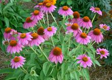 To deadhead plants with single flowers, such as this Echinacea Pow Wow Wild Berry, just remove the flower stalk. You can also increase bloom size by removing side flower buds from lateral growth. (Photo by MSU Extension Service/Gary Bachman)