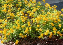 New Gold lantana was named a Mississippi Medallion winner in 1996, and its vigorous growth and bright flowers keep it an excellent landscape choice. (Photo by MSU Extension Service/Gary Bachman)