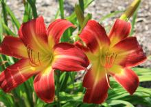 The daylily Suburban Nancy Gayle is one of the most outstanding new selections available. It blooms from mid-May until August with big, red, yellow-throated flowers. (Photo by MSU Extension Service/Gary Bachman)