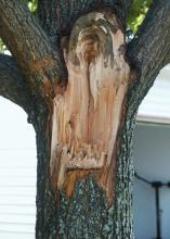 Do not let tree pruning leave a jagged edge that can hold water and provide a home for disease organisms to flourish. Trim the damaged area to create an even surface for better healing. (Photo by MSU Extension Service/Gary Bachman)