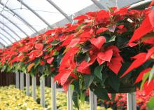 Traditional, bright-red poinsettias are a popular holiday decorative plant. (Photo by MSU Extension Service/Gary Bachman)