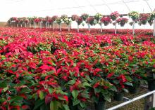 Poinsettias are sensitive to wet feet, and root rot will set in very quickly. It is important not to overwater them. (Photo by MSU Extension Service/Gary Bachman)
