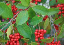 Savannah holly berries can be show stoppers from November through March. They are a favorite winter delicacy for birds. (Photo by MSU Extension/Gary Bachman)