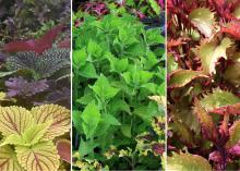 Sun coleuses (left) thrive in the Deep South but require constant moisture during summer months. —- A 2010 Mississippi Medallion winner, the Electric Lime coleus (middle) is durable and pairs well with spring and fall foliage. —- Henna coleus (right) has chartreuse and copper colors on the tops of its leaves and shades of burgundy underneath. (Photos by Gary Bachman/MSU Extension)