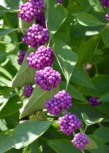 American beautyberry may die to the ground in severe winters, but good pruning in early spring keeps it full and compact. (Photo by MSU Extension/Gary Bachman)