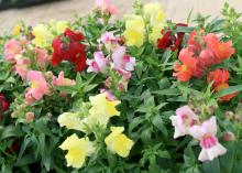 SNAPSHOT -- The Snapshot series includes small snapdragons that spread out in the landscape and produce plenty of soft, pastel flowers. (Photo by MSU Extension/Gary Bachman)