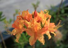 The Florida flame azalea is another very common Mississippi native that blooms beautifully in early spring. (Photo by MSU Extension/Gary Bachman)