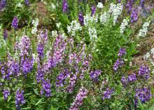 Serenita Angelonia are tough but elegant plants that bring long-lasting color with very little maintenance. This Angelonia Serenita mix creates a soothing sea of soft color in the landscape. (Photo by MSU Extension/Gary Bachman)