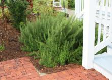 Rosemary is an aromatic herb that is a favorite for cooking. It thrives on neglect, and when planted by paths or steps, it releases its sweet scent at the slightest touch. (Photo by MSU Extension/Gary Bachman))