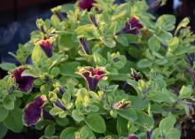 Supertunia flower edges are lime green and tend to blend into the foliage, allowing the artistically painted flowers to stand out. This Picasso in Burgundy will be available this year. (Photo by MSU Extension/Gary Bachman)