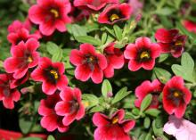 Pomegranate Punch is a variety of Calibrachoa Superbells that is heat tolerant all summer long and adds color to any flowerbed. (Photo by MSU Extension/Gary Bachman)