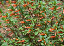 Cuphea Vermillionaire is a heat-loving plant that flowers from spring to frost in the fall and can reach 3 feet in height by summer's end. (Photo by MSU Extension Service/Gary Bachman)