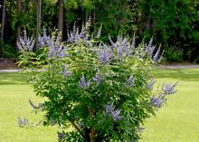 Vitex is an outstanding small tree for Mississippi landscapes. It can be grown as a single-trunked tree or a multitrunk specimen. (Photo by MSU Extension/Gary Bachman)
