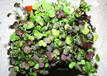 Microgreens such as the mix pictured are rich in phytonutrients and grow quickly indoors with minimal effort on a windowsill or under lights. (Photo by Gary Bachman/MSU Extension Service)